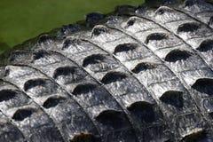 Alligator Skin. Close up of alligator skin Royalty Free Stock Photography