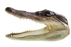 Alligator skull Royalty Free Stock Images