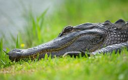 Alligator sleeping in grass Stock Image