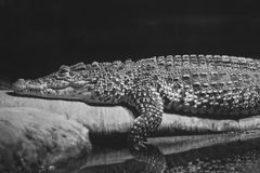 Alligator. An Alligator slumped next to a body of water Stock Images
