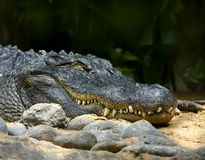 Alligator smile. Dangerous alligator smile, showing fangs stock photo