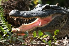 Alligator with open mouth. Portrait of American alligator with open mouth in Everglades, Florida, U.S.A Stock Image