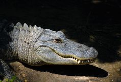 Alligator Smile. An alligator sits with a smile in the sun Royalty Free Stock Photos