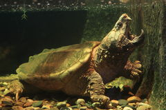 Alligator snapping turtle. The Alligator snapping turtle in water Stock Images