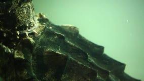 Alligator Snapping Turtle in large aquarium. Alligator Snapping Turtle in a large aquarium stock footage