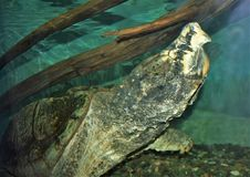 Alligator Snapping Turtle Macrochelys Temminckii. The alligator snapping turtle Macrochelys temminckii is a species of turtle native to freshwater habitats in royalty free stock image