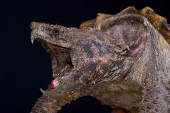 Alligator snapping turtle / Macrochelys temminckii. The alligator snapping turtle is the heaviest freshwater turtle in the world. These formidable predators are Stock Photo