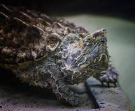 The alligator snapping turtle Macrochelys temminckii is a species of turtle in the family Chelydridae. The species is native to freshwater habitats in the stock image