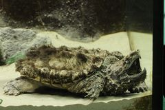 Alligator snapping turtle Macrochelys temminckii at a ZOO. The alligator snapping turtle Macrochelys temminckii is a species of turtle in the family Chelydridae stock photo