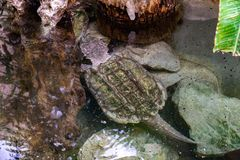 Alligator snapping turtle Macrochelys temminckii in zoo Barcelona.  royalty free stock images