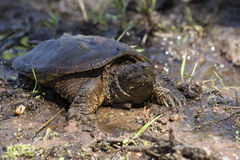 Alligator Snapping turtle in mud Stock Image