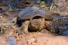 Alligator snapping turtle in mud Royalty Free Stock Photos