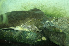 Alligator snapping turtle. The sleeping Alligator snapping turtle Stock Photo