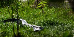 Alligator sneaking through the grass on the Marsh Trail in South West Florida. Royalty Free Stock Photos