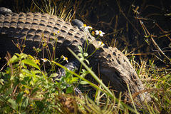 Alligator Snoozing. American Crocodile Snoozing among the wildflowers in Everglades National Park Stock Image