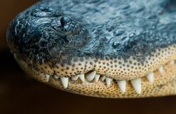 Alligator Snout Royalty Free Stock Photography