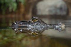 Alligator som håller ögonen på tittaren Arkivfoto