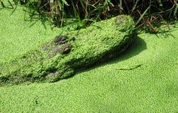 Alligator som kommer ut ur ett träsk Fotografering för Bildbyråer