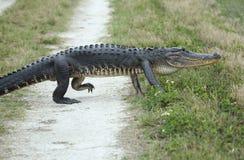 Alligator som korsar en grusväg Arkivbilder