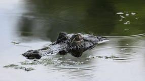 Alligator som lurar i skuggorna Fotografering för Bildbyråer