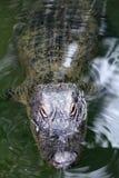 Alligator som petar huvudet ut ur vattnet för att få någon sol Royaltyfri Bild