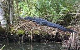 Alligator som ta sig en tupplur i träsk Arkivbilder