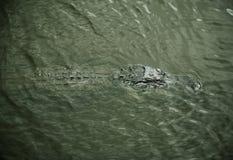 Alligator som vilar på floden Myakka flod Arkivbilder