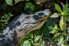 Alligator Staring, Big Cypress National Preserve, Florida. Alligator (Alligator mississippiensis) Staring, Big Cypress National Preserve, Florida Stock Photography