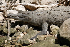 Alligator. In the Sumidero Canyon, Chiapas Royalty Free Stock Photo