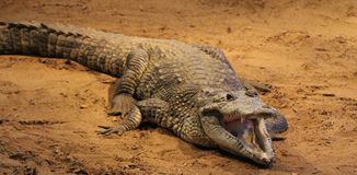 Alligator Sun Bathing Royalty Free Stock Photos
