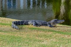 ALLIGATOR IN THE SUN. Alligator resting on a golf course in the sun royalty free stock images