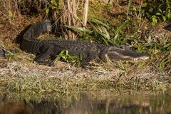 Alligator Sunbathing Stock Images