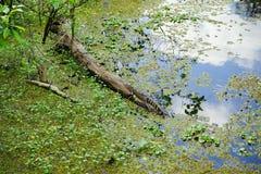 Alligator sunbathing Royalty Free Stock Photo