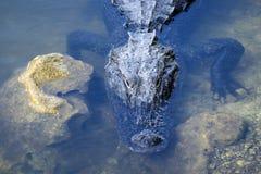 Alligator Sunbathing #2 Royalty Free Stock Image