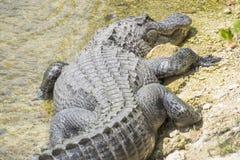 Alligator Sunbathing #3 Royalty Free Stock Photo