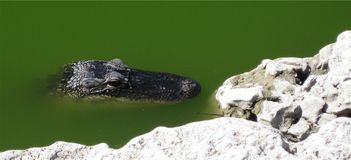 Alligator sunning. Alligator head gets some sun in a canal Stock Photos