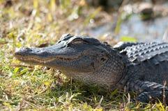 Alligator Sunning Stock Photography