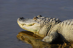 Alligator sunning. At the edge of a pond Stock Images