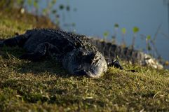 Alligator Sunning. An American Alligator suns itself on the bank of a lake Royalty Free Stock Image