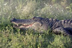 Alligator sunning in grass Stock Images