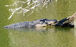 Alligator Sunning on the Root of an Old Withered Tree-2 Royalty Free Stock Images