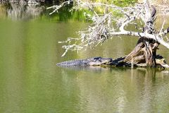 Alligator Sunning on the Root of an Old Withered Tree-1 Stock Photos