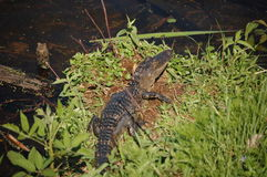 Alligator Stock Image