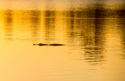 Alligator at Sunset. American alligator silhouette, swims at sunset, Everglades, Florida, March 2015 Stock Photography