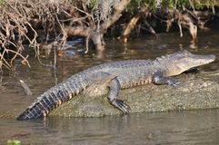 Alligator sur le logarithme naturel Photographie stock libre de droits