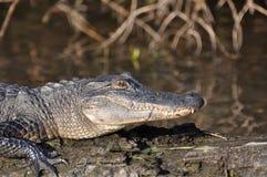 Alligator sur le logarithme naturel Photos stock