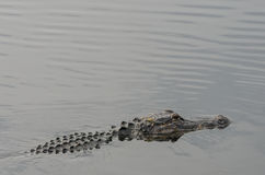 Alligator on Surface. An alligator comes to the surface of the calm water in a Florida wetland stock photos