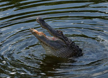 Alligator swallowing egret. A close up of an alligator swallowing an egret in a pond in Florida Stock Images