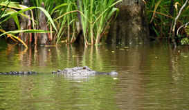 Alligator in Swamp Stock Image