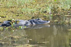 Alligator Swamp Stock Photography